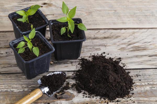 Петуния: выращивание в контейнерах