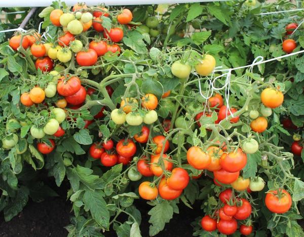 Томаты в грядах-коробах: обилие сахарных плодов