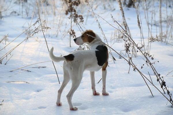 Собака стоит на снегу, на насте нет следов и отпечатков - на уровне ледяной корки бывают повреждения стеблей.Фото с сайта i.piccy.info