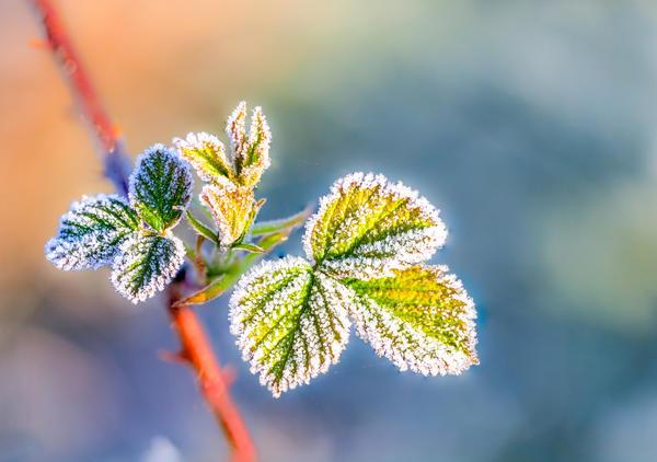 Малиновые страдания ранней весной