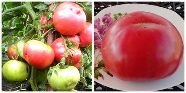Томат Delicious, внешний вид и его зрелый плод. Фото с сайта happyseeds.ru