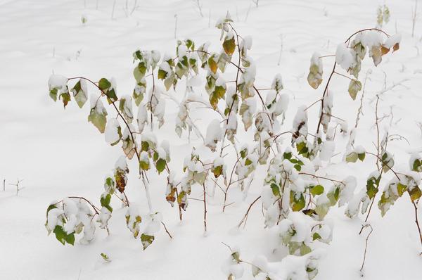 Если теплую затяжную осень резко сменяет мороз - побеги не успевают вызреть