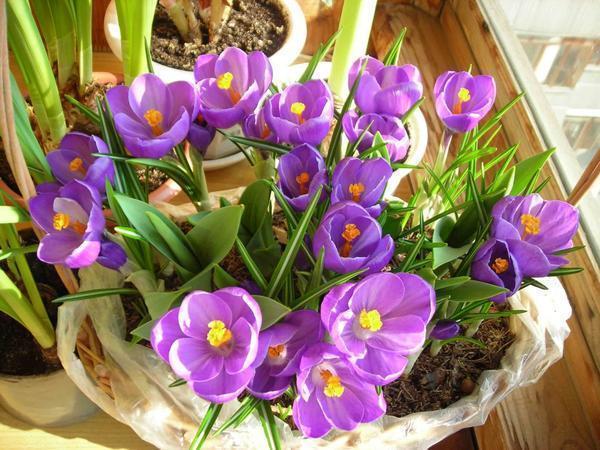 Подарочные цветы в горшках принято красиво упаковывать
