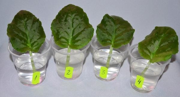 Можно использовать водный раствор корневина