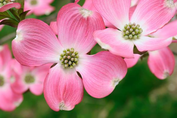 Кизил цветущий f. rubra