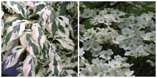 Кизил цветущий Welchii. Фото с сайта buchholznursery.com. Кизил цветущий White Cloud. Фото с сайта plants.hicksnurseries.com