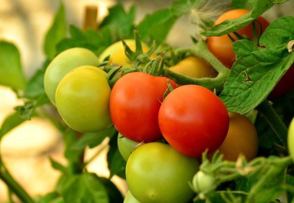 Ралли F1 - крупноплодный томат для защищенного грунта