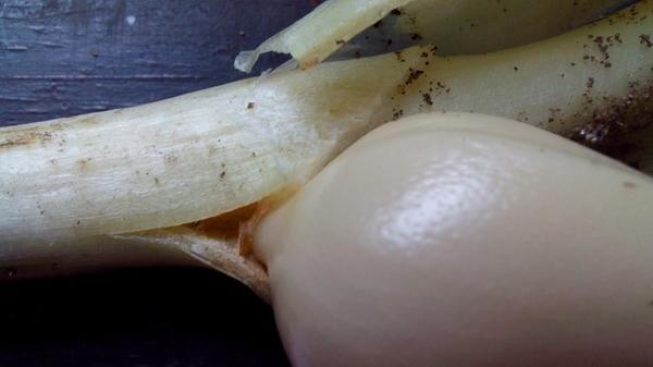 Та самая молодая луковица на стебле. Фото автора