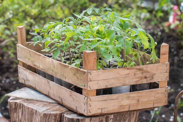 Для получения достойного урожая важна не высота рассады, а ее возраст