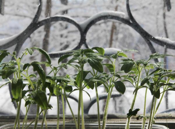 Сложно огороднику на подоконнике вырастить коренастую крепенькую рассаду