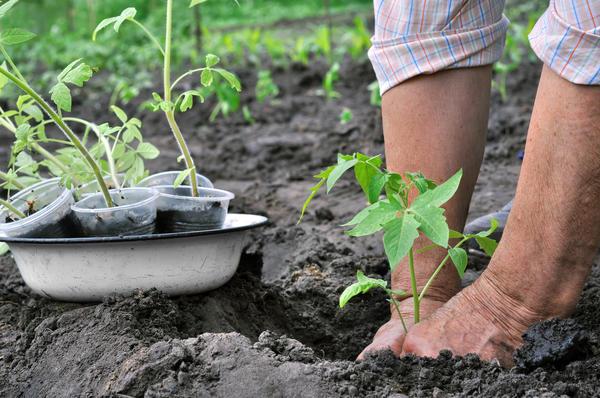 Каждый огородник сам выбирает предпочтительный метод выращивания томатов