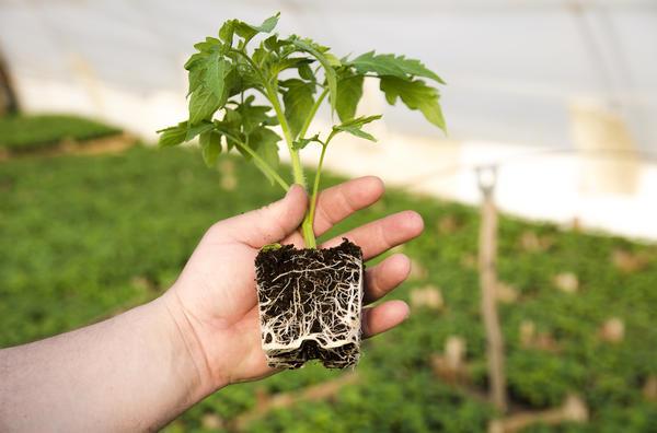 Чем мощнее корневая система рассады томатов - тем лучше