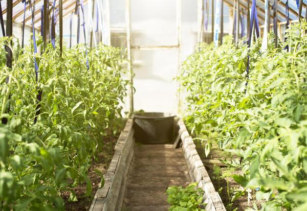 Только при фанатичном уходе в теплице возможно получить богатый урожай томатов