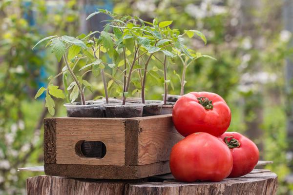 Сколько любителей помидоров, столько и технологий их выращивания