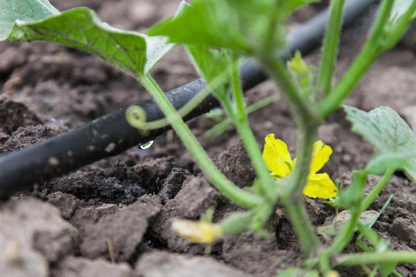 Растения хорошо отзываются на полив капельным методом