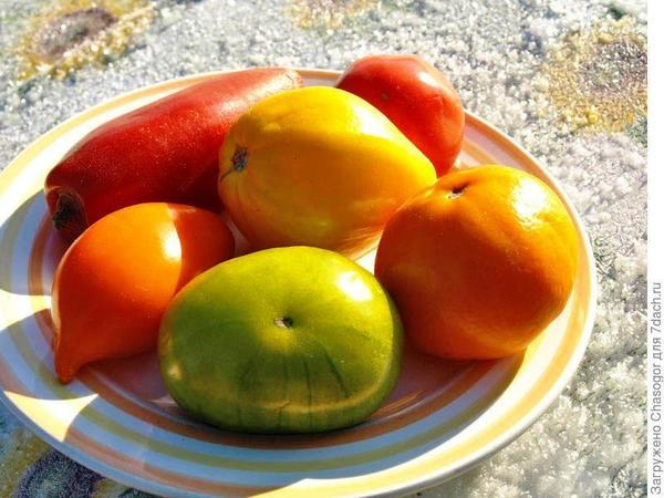 Перцевидные томаты среди своих собратьев, фото пользователя сайта Shasogor