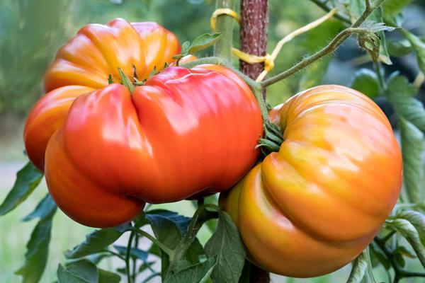 Ребристые томаты обретают все большую популярность у дачников