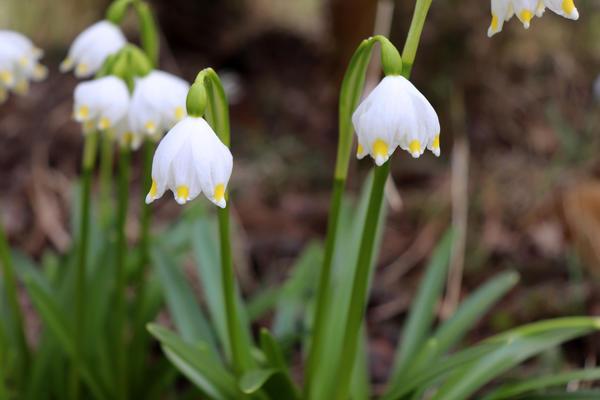 Белоцветник весенний var. carpathicum