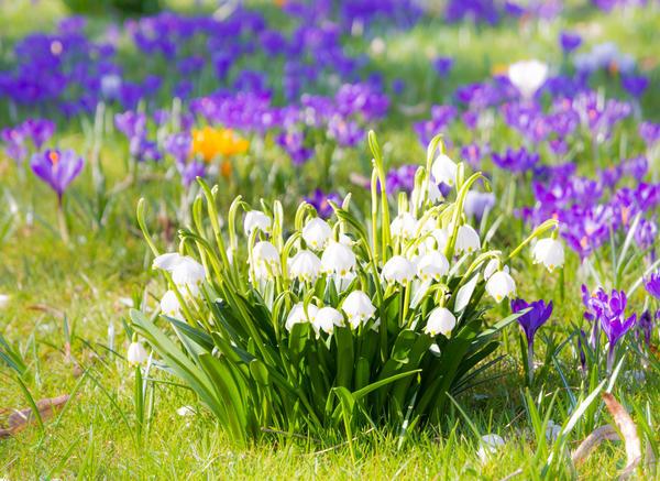 Белоцветник весенний с крокусами