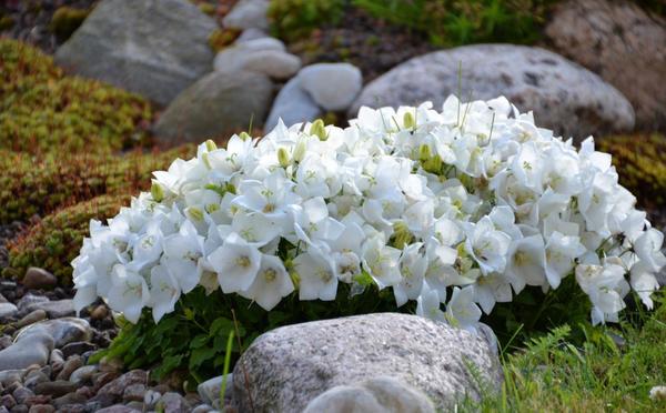 Колокольчик карпатский White Clips. Фото с сайта 7.allegroimg.com