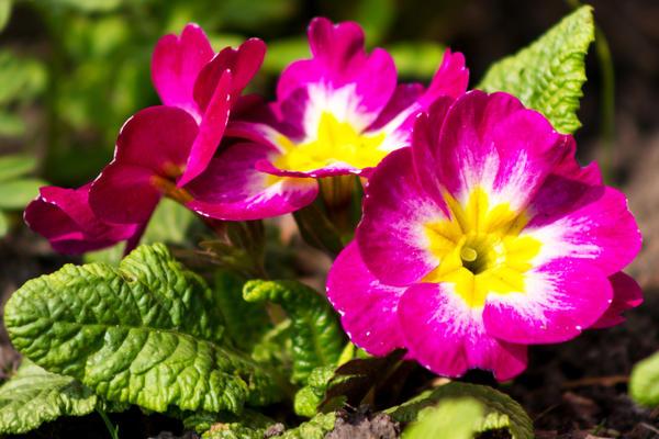 Цветочек за цветочком на даче поселяются все новые примулы