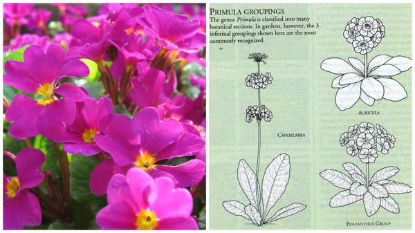 Слева - примула в моем объективе, справа - садовые группы примул. Фото автора