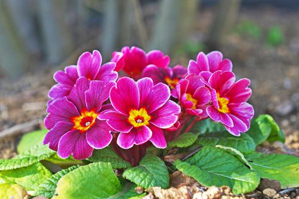 Примулы, или первоцветы