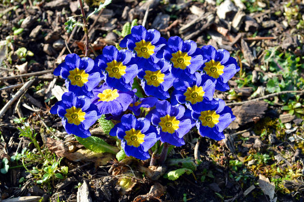 Примулы из различных групп будут радовать цветением с весны до осени