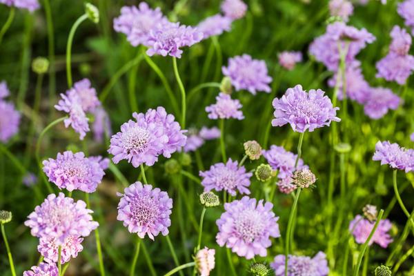 Растения-двойники цветочных однолетников