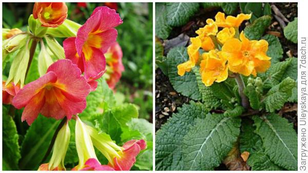 Слева - примула из полиантовой группы в моем объективе, справа - сорт примулы высокой серии Crescendo. Фото с сайта russellwholesale.com