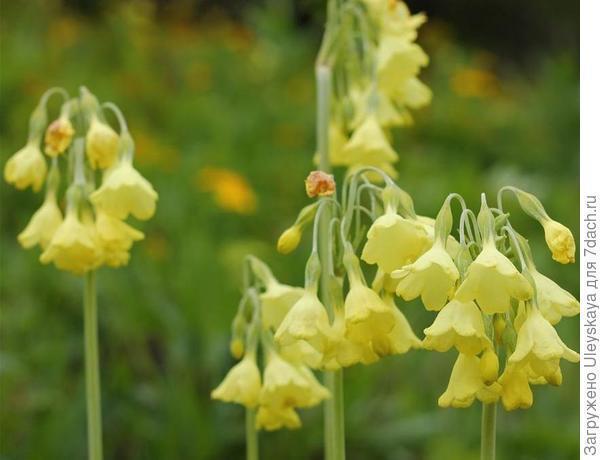 Примула сиккимская. Фото с сайта alpine-garden.com