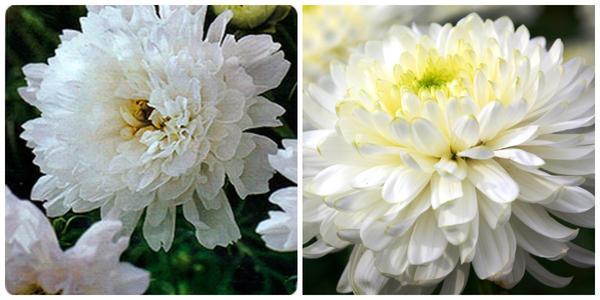 Космея Снежный клик. Фото с сайта seedspost.ru. Хризантема садовая  Zembla White, фото автора