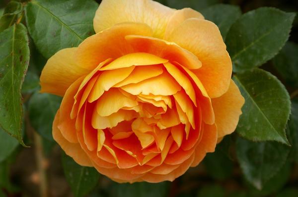 У романтической розы Pat Austin насыщенный классический аромат, фото автора