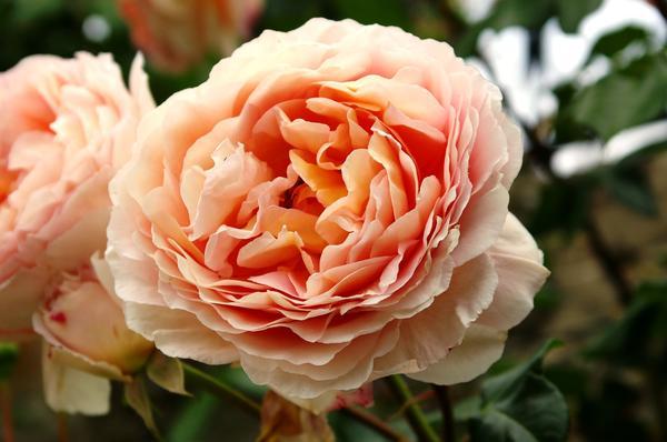 Роза сорт William Morris с божественным классическим ароматом, фото автора