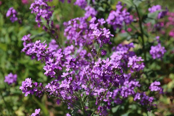 Цветет и благоухает гесперис матроны