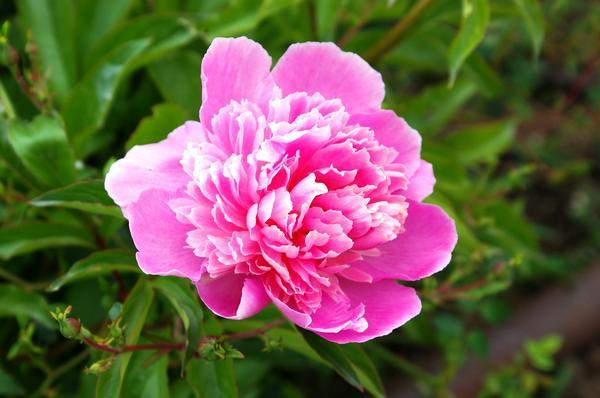 У цветков сортовых пионов довольно сложный аромат, который часто копирует запах других растений, иногда добавляя в него различные нотки, фото автора