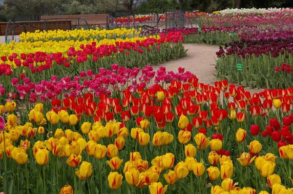 Тюльпанная феерия в Никитском ботаническом саду, фото автора