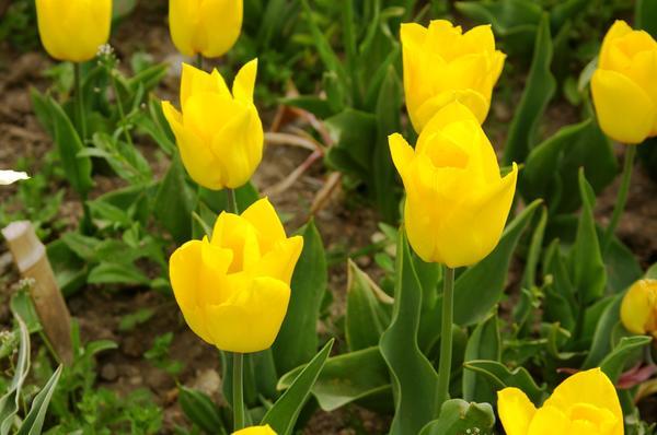 Тюльпан садовый сорт Ballade Gold