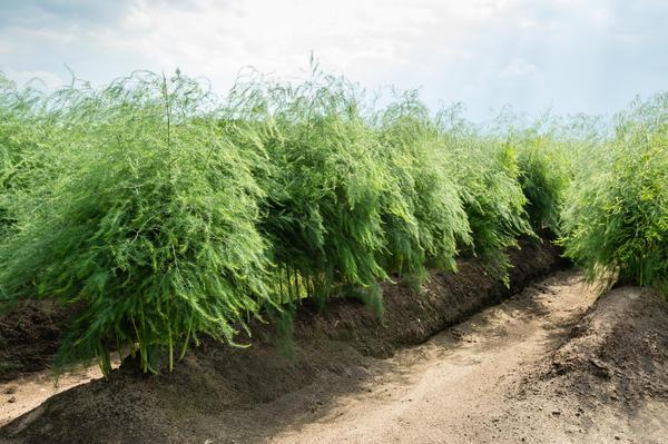 Спаржа, или аспарагус - это многолетнее травянистое растение высотой до 1,5 м