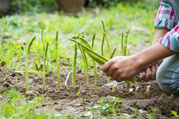 В первый год плодоношения уборку не стоит растягивать более чем на месяц, чтобы лишний раз не ослаблять молодые корневища