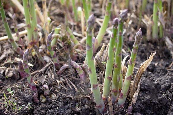 Легче всего аспарагус размножается делением куста