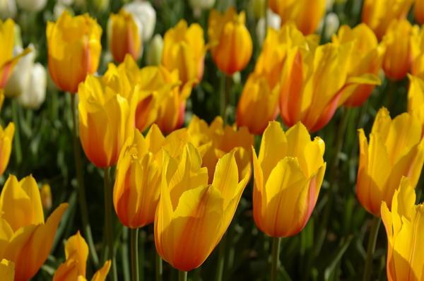 Тюльпан садовый сорт Long Lady дарит радостное настроение, фото автора