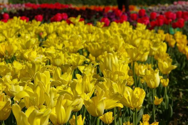 Желтые тюльпаны, фото автора
