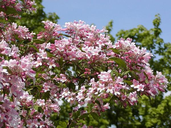 Кольквиция, декоративная форма Pink Cloud, фото сайта flora-company.ru