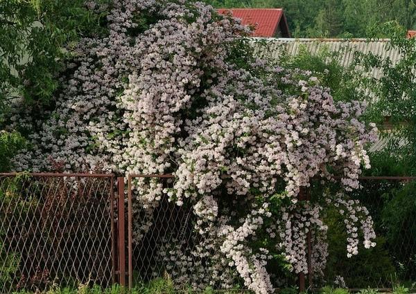 Кольквиция у забора, фото сайта plantsgallery.blogspot.com