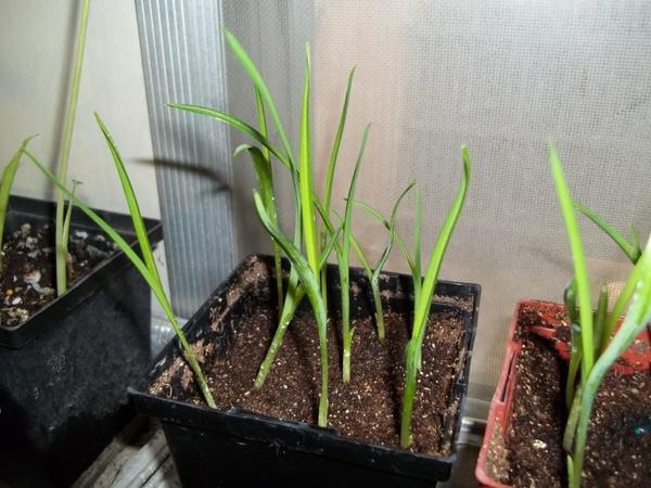 Рассада лилейников. Фото сайта plantswap.net