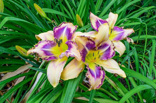Цветок лилейника живет один день