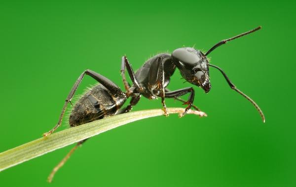 как избавиться от садовых муравьев в огороде