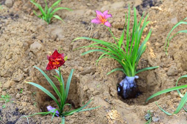 Лилейники лучше делить ранней весной