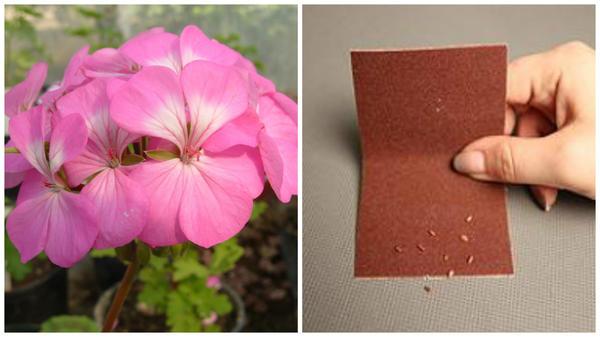 Красавица пеларгония в моем объективе, скарификация семян бегонии наждачной бумагой, фото сайта outdoor.usadbaonline.ru